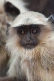 обезьяна langur младенца общяя Стоковое Изображение RF