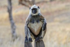 Обезьяна Langur на столбе Стоковые Фото