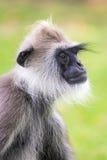 Обезьяна langur серого цвета/Hanuman, Шри-Ланка Стоковые Изображения RF