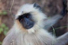 обезьяна langur Стоковое Изображение
