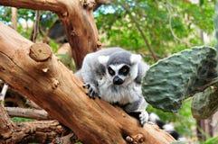 обезьяна lemur Стоковые Изображения