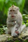 обезьяна macaca fascicularis Стоковое Изображение RF