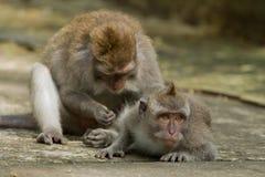 обезьяна macaca fascicularis Стоковое фото RF