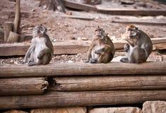обезьяна macaca fascicularis Стоковая Фотография RF
