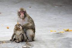 обезьяна macaca fuscata серая японская Стоковые Фото