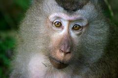 обезьяна macaque Стоковые Фото
