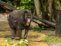 Обезьяна Mandrill, сфинкс мандрилов, стоя outdoors в зоопарке стоковое изображение rf