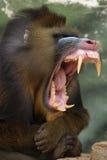 обезьяна mandrill Стоковые Изображения RF