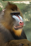 обезьяна mandrill Стоковые Фото