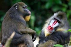 обезьяна mandrill Стоковые Изображения