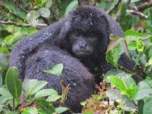 обезьяна mantled ревуном Стоковое Изображение RF