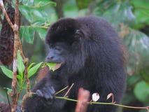 обезьяна mantled ревуном Стоковые Изображения