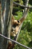 обезьяна momma Стоковое Изображение RF