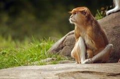 Обезьяна Patas, зоопарк парка полесья, Сиэтл, Вашингтон Стоковое Изображение