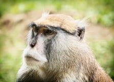 Обезьяна Patas или обезьяна Гусара - patas Erythrocebus, животное portr Стоковые Изображения RF