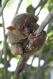 обезьяна philippines bohol более tarsier Стоковые Изображения RF