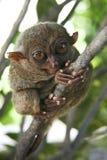 обезьяна philippines bohol более tarsier Стоковая Фотография RF