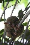 обезьяна philippines bohol более tarsier Стоковое Изображение RF