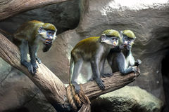 Обезьяна Redtail, Черная-cheeked Бел-обнюханная обезьяна Стоковое Изображение
