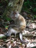 обезьяна s семьи Стоковые Изображения RF