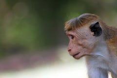 Обезьяна Sri Lanka Стоковые Фотографии RF