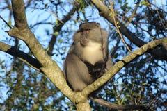 Обезьяна Sykes в дереве Стоковые Изображения