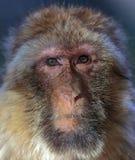 Обезьяна, sylvanus Macaca макаки Barbary стоковые изображения