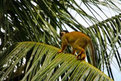 Обезьяны белки в национальном парке Madidi Стоковое Изображение