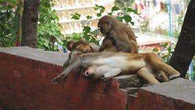 Обезьяны в городе Катманду видеоматериал