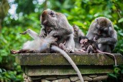 Обезьяны в лесе обезьяны, Бали стоковые фото