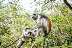 Обезьяны в естественной среде обитания в после полудня деревьев приматы Стоковые Изображения