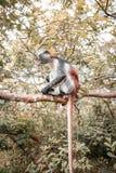 Обезьяны в естественной среде обитания в после полудня деревьев приматы Стоковая Фотография RF