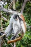 Обезьяны в естественной среде обитания в после полудня деревьев приматы Стоковое Изображение