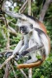 Обезьяны в естественной среде обитания в после полудня деревьев приматы Стоковое Фото