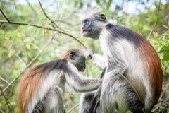 Обезьяны в естественной среде обитания в после полудня деревьев приматы Стоковые Фотографии RF