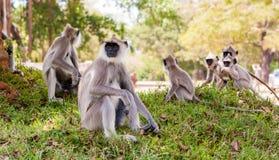Обезьяны в джунглях Шри-Ланки Стоковые Изображения