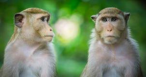 2 обезьяны в зеленой предпосылке леса природы Стоковые Изображения RF