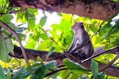Обезьяны джунглей взбираются верхнее дерево для того чтобы искать шнурок и плод стоковое фото