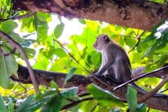 Обезьяны джунглей взбираются верхнее дерево для того чтобы искать шнурок и плод стоковая фотография