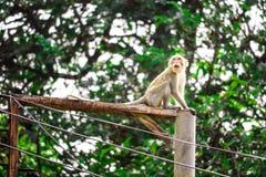 Обезьяны джунглей взбираются электрические поляки для того чтобы искать шнурок и стоковые изображения