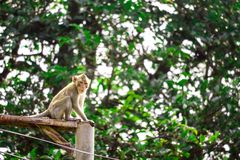 Обезьяны джунглей взбираются электрические поляки для того чтобы искать шнурок и стоковое изображение rf