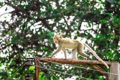 Обезьяны джунглей взбираются электрические поляки для того чтобы искать шнурок и плод падая на пол стоковое фото rf