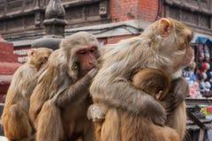Обезьяны живя в виске Swayambunath, Катманду, Непале стоковые изображения rf