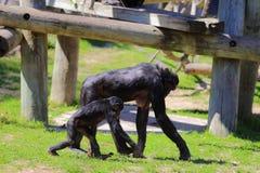 Обезьяны карликового шимпанзе Стоковое Фото