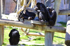 Обезьяны карликового шимпанзе Стоковая Фотография