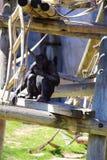 Обезьяны карликового шимпанзе Стоковые Фото