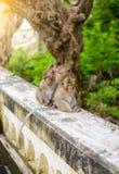 Обезьяны & x28; краб есть macaque& x29; холить одно другое Стоковая Фотография RF