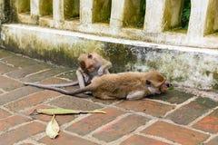 Обезьяны & x28; краб есть macaque& x29; холить одно другое Стоковые Фотографии RF