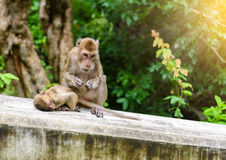 Обезьяны & x28; краб есть macaque& x29; холить одно другое Стоковая Фотография