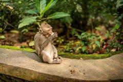 Обезьяны макаки на святилище леса обезьяны Ubud священном природа стоковые изображения rf